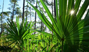 Does saw palmetto treat enlarged prostate – or is it just a myth ...
